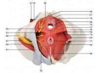 Vrouwelijk bekken 6-delig, ligamenten, spieren, etc.