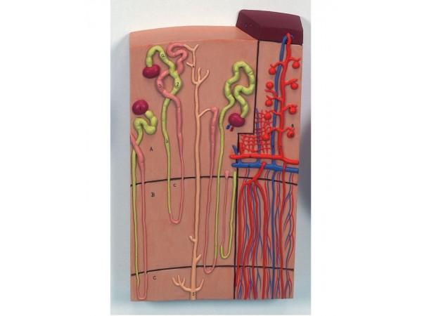 Nefronen en bloedvaten