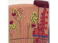 Nier, Nefronen, bloedvaten & corpusculum renale