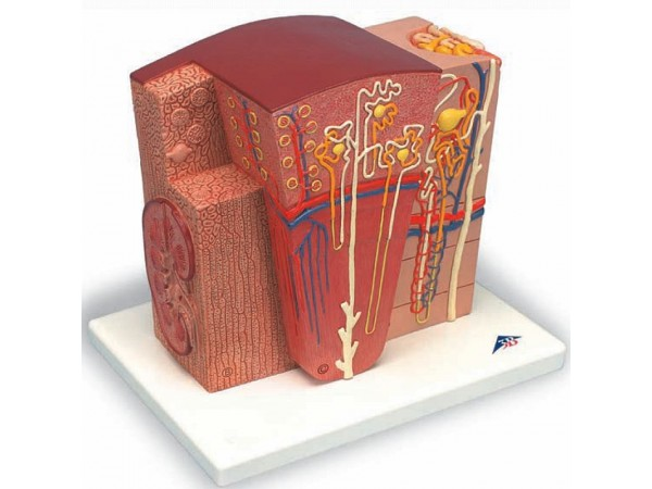 Micro-Anatomie van de Nier