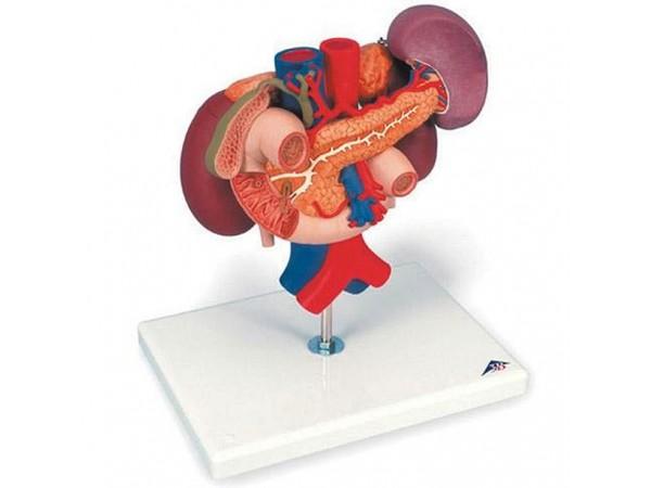 Nieren met Achterste organen van het bovenste Abdomen.