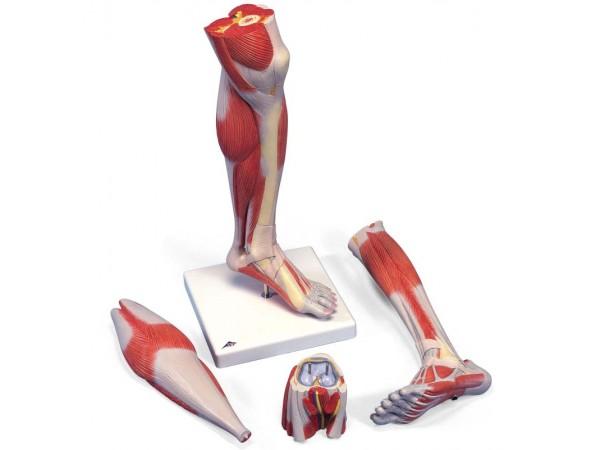 Spiermodel Onderbeen met knie, 3-delig