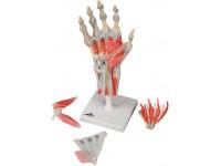 Hand met gewrichtsbanden & spieren