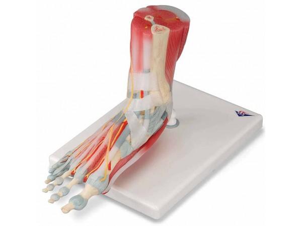 Voetskelet met ligamenten en spieren