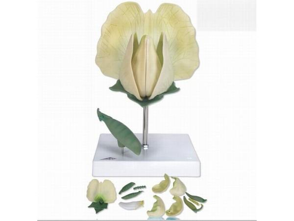 Erwt (Pisum sativum)