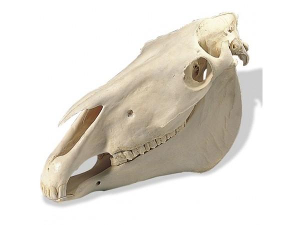 Paardenschedel (Equus caballus)