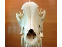 Natuurlijk skelet van een hond