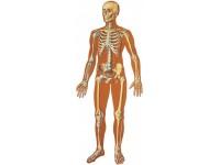 Wandplaat Skelet (voorzijde)