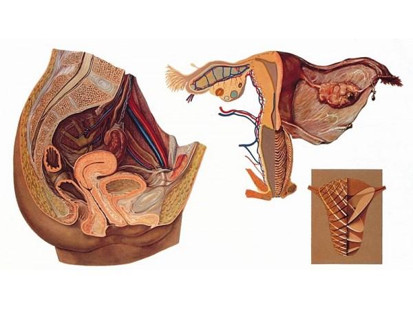 Wandplaat Vrouwelijke bekkenorganen