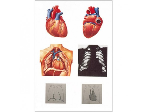 The heart I, anatomy wandplaat