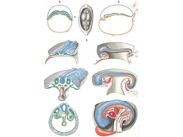 Embryology II