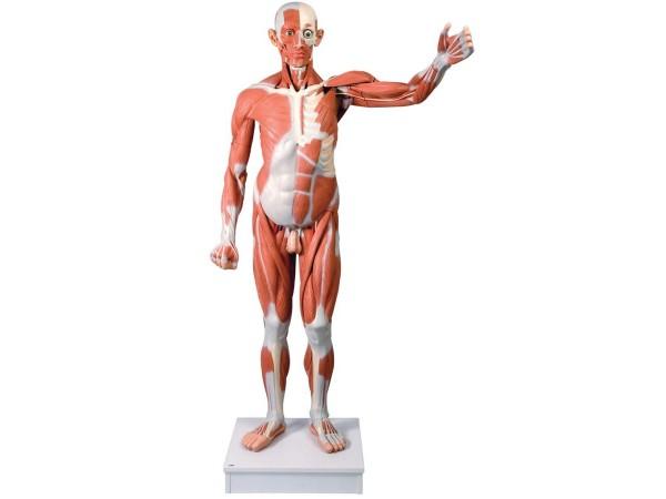 Spierenmodel, ware grootte, 37-delig
