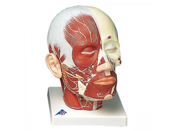 Hoofd musculatuur met zenuwen