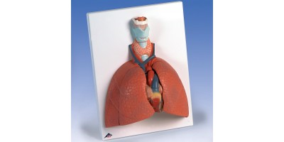 Long model met larynx, 5-delig