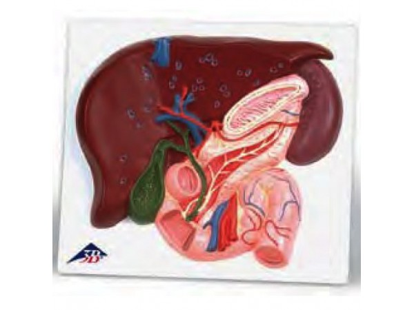 Lever met galblaas, Pancreas en Duodenum