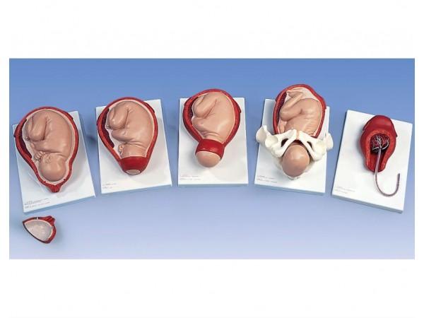 Geboorte proces 5-stadia