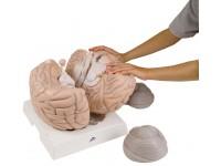 Vergroot hersenmodel 2,5x vergroot, 14-delig