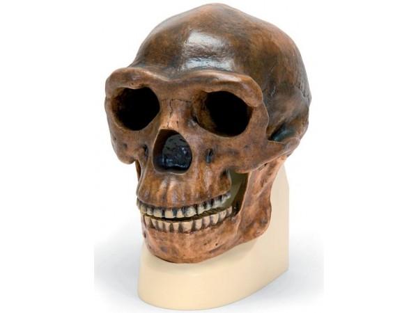 Antropologische schedel Sinanthropus
