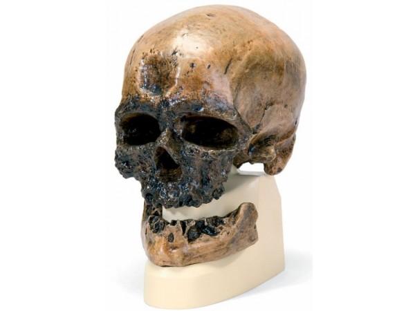 Antropologische Schedel Crô-Magnon