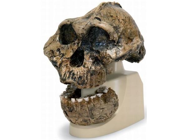 Antropologische Schedel KNM-ER 406, Omo L. 7a-125