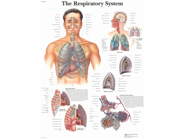 Ademhalingsstelsel, papieren wandplaat