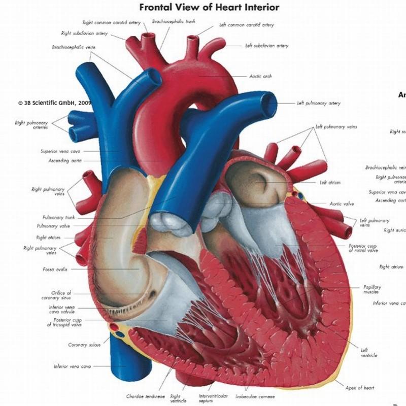 Verwonderend anatomie wandplaat PS-52