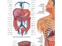 Gastrointestinal System, gelamineerde wandplaat