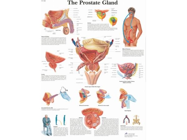 Prostaat, papieren wandplaat