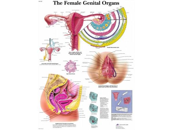Vrouwelijke geslachtsorganen, papieren wandplaat