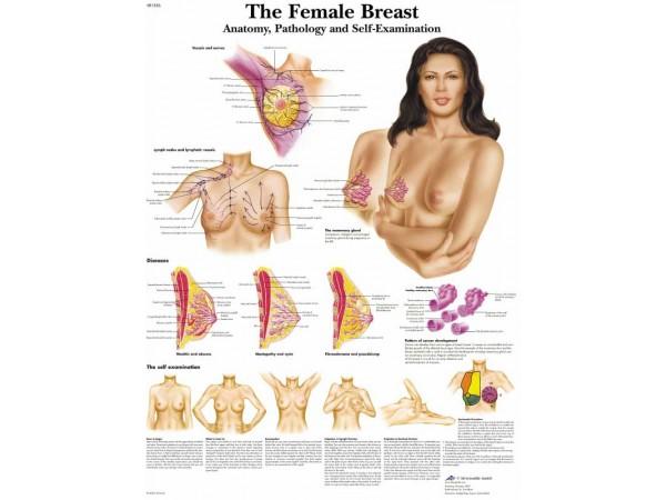 Vrouwelijke borst, papieren wandplaat