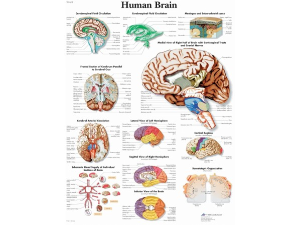 De Hersenen, papieren wandplaat