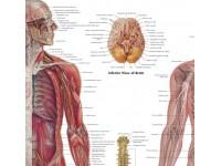 Zenuwstelsel, gelamineerde wandplaat