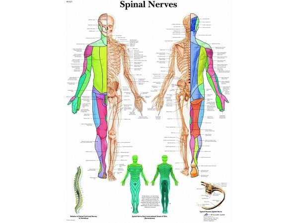 Spinale Zenuwen, papieren wandplaat