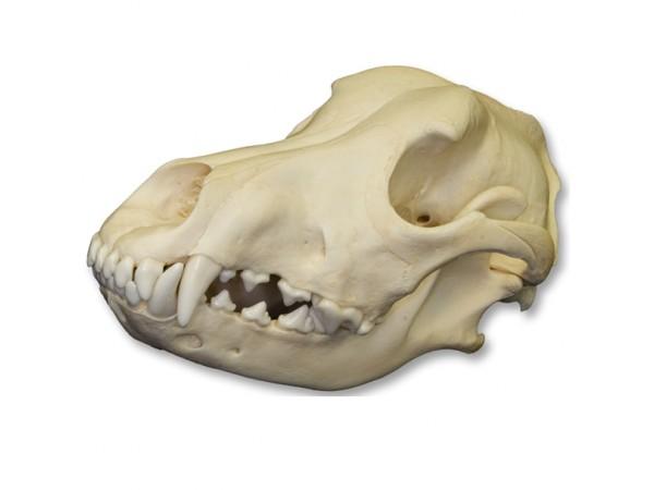 Hondenschedel