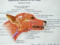 Hond, spieren