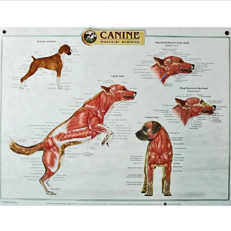anatomie hond spieren