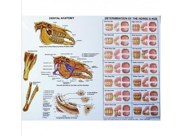 Paard, gebit anatomie