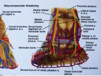 Paard, voet en hoef anatomie