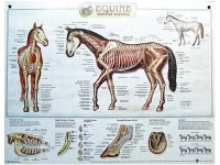 Paard skelet anatomie