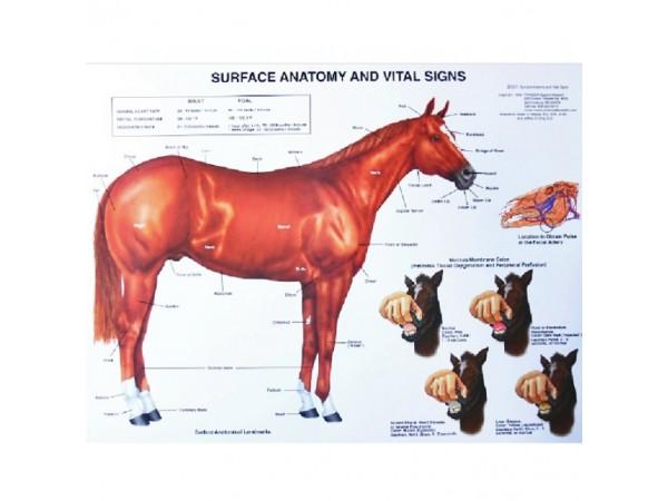 Paard, bouw en gezondheids kenmerken