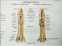 Kat skelet anatomie