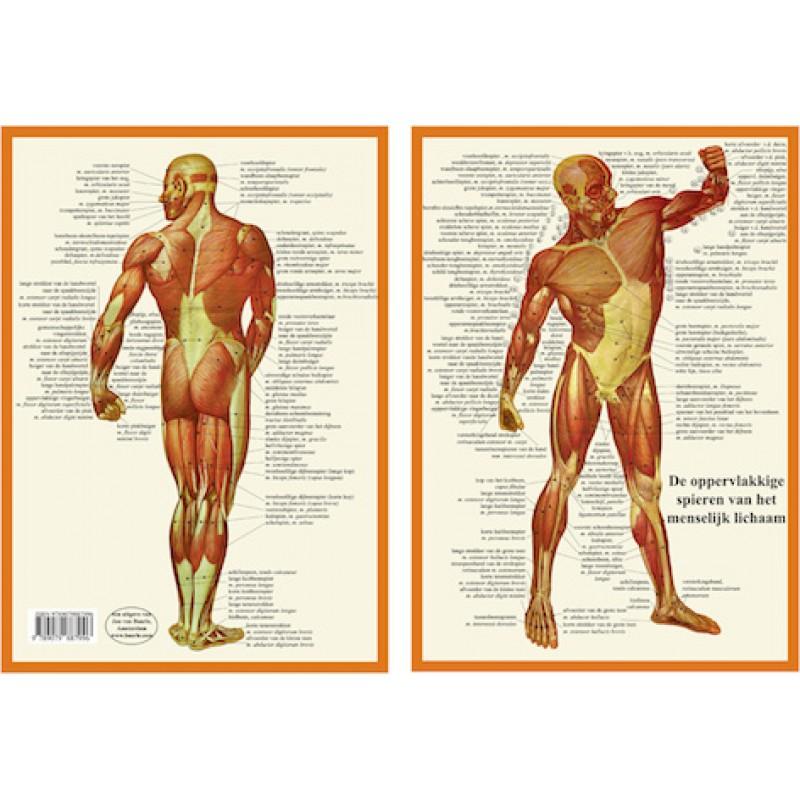 Anatomie Kaart Spieren Nederlands