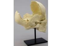Samengevoegde didactische schedel