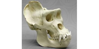 Gorilla schedel, Man, XL