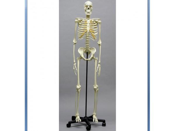 Skeletten: Academisch Skelet model, Aziatisch Man