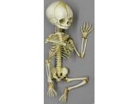 Foetus skelet, beweeglijk gemonteerd