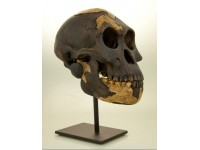 "Australopithecus afarensis- ""Lucy"" - dark  Skull"