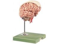 Academisch Hersenmodel
