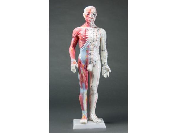 Spier-/Acupunctuurmodel, 60 cm