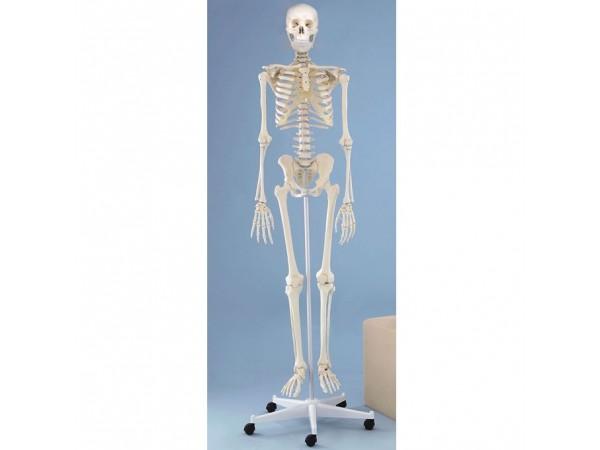 Skeletten: Skelet, beweegbare schouderbladen